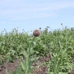 Левзея сафлоровидная - лекарственное растение