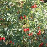 Шиповник майский - источник витамина С