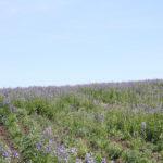 Синюха голубая - редкое лекарственное растение