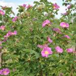 Цветки шиповника майского