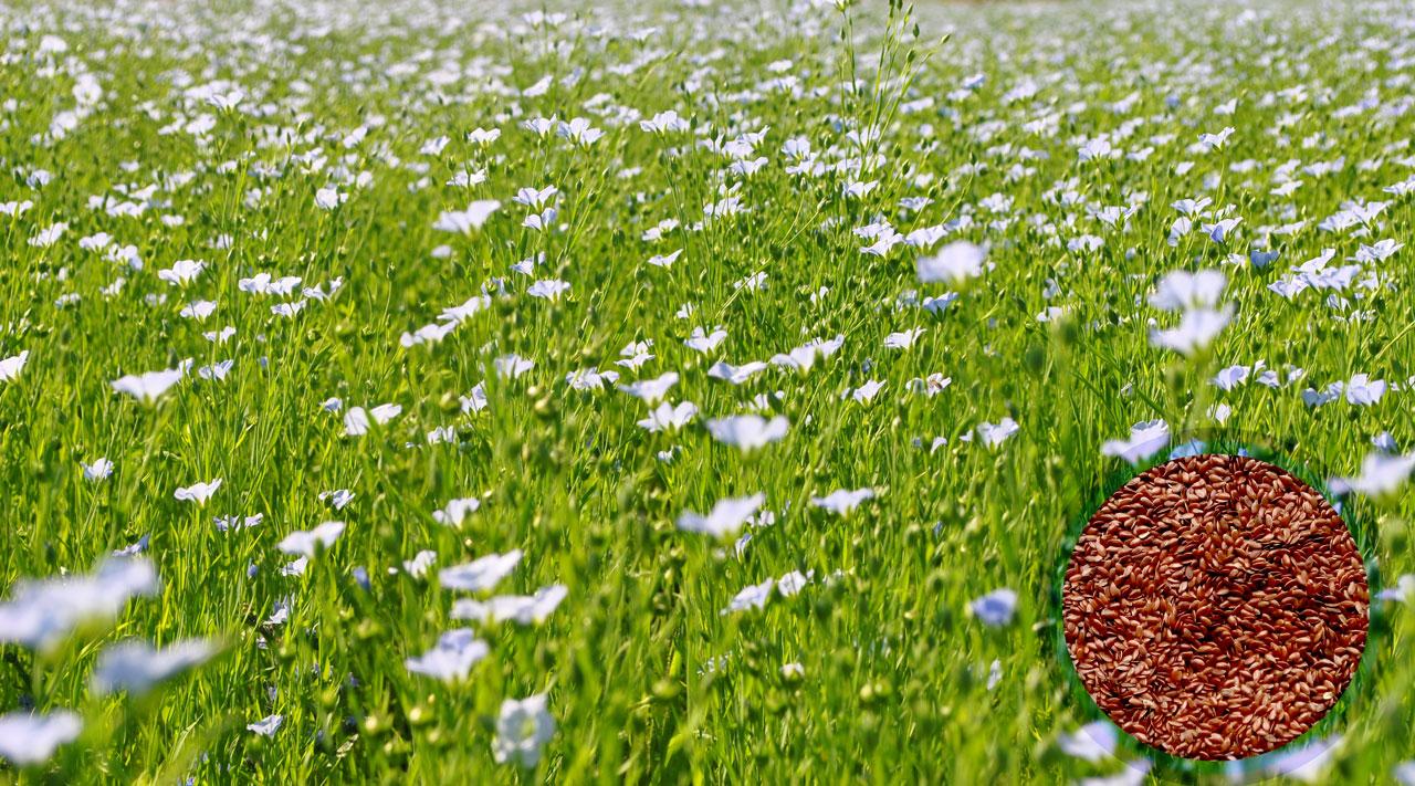 Лён оптом! Компания Парафарм реализует семена льна оптом