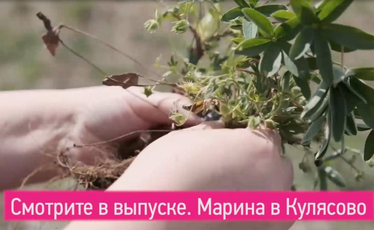 растительный препарат для похудения