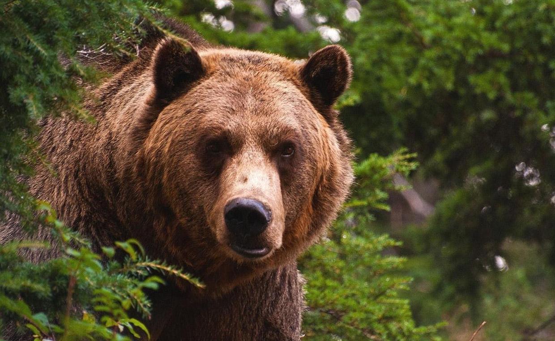 День медведя: будь сильным, как обитатель русских лесов!