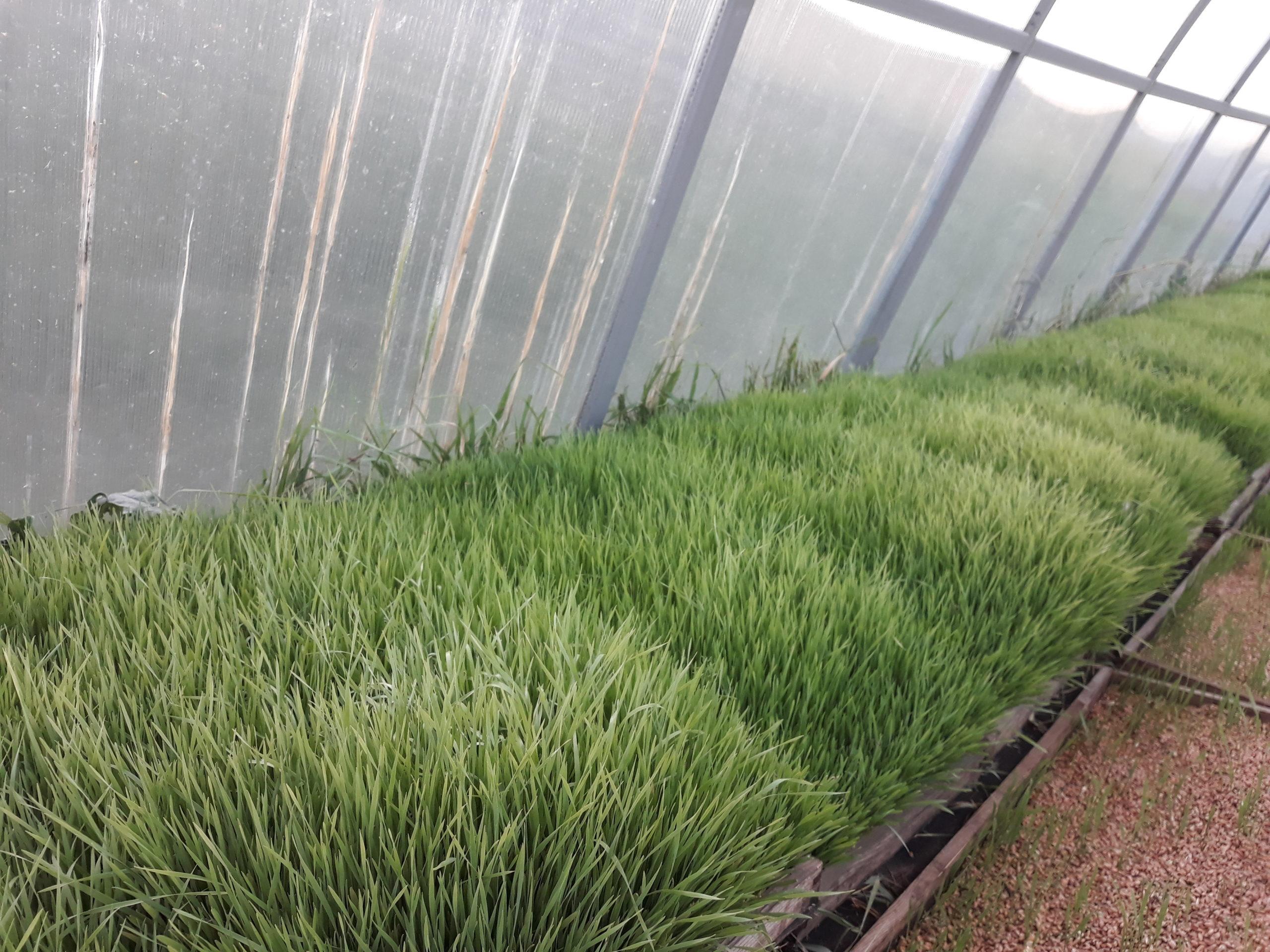 Проростки пшеницы пополнят линейку продукции компании «Парафарм»