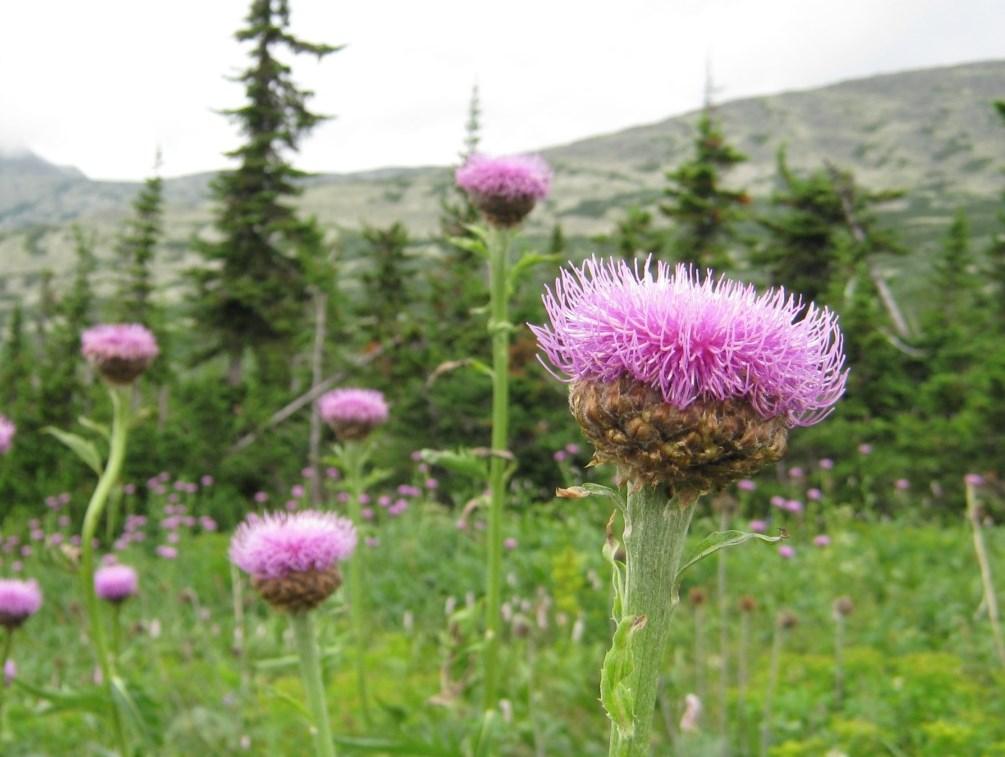 эффективные травы для лечения коронавируса